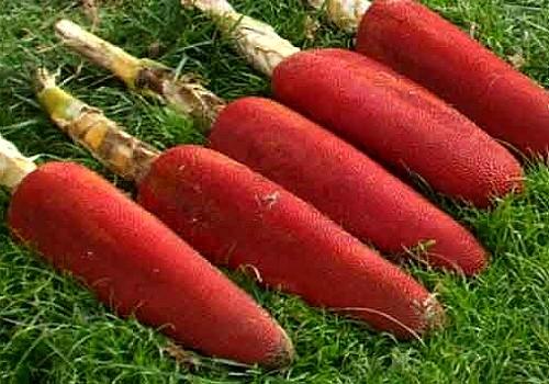 buah merah plant